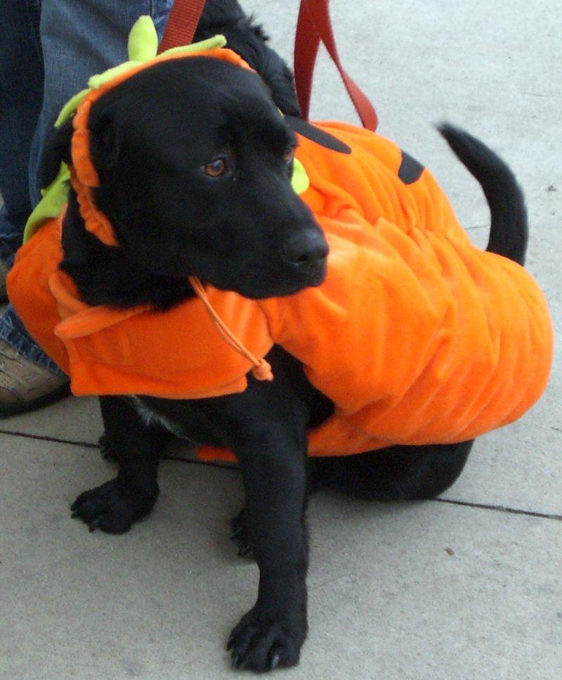 Costumed-dog