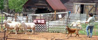 Chester-herding