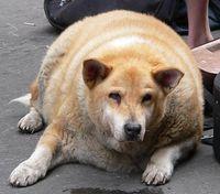 Overweight dog