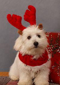 Christmasdog-reindeer
