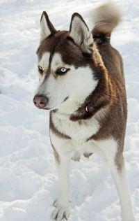 Siberian husky in snow