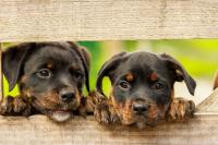 Rottweiler-1785760_1920